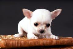 坐对推车的白色小奇瓦瓦狗小狗 免版税库存照片