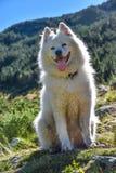 坐山的一条毛茸的白色狗孔特尔jour 免版税库存图片