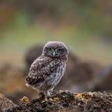 坐岩石和看照相机的一只幼小小猫头鹰 库存图片