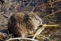 坐岸和在春天的麝香鼠吃芦苇 库存图片