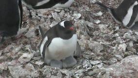 坐巢在殖民地在南极州的母Gentoo企鹅 股票录像