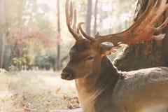 坐布朗的鹿在阳光下 免版税库存照片