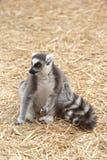 坐干草环纹尾的狐猴 库存照片