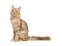 坐平纹土耳其安哥拉猫的猫看从边看见的照相机 免版税库存照片