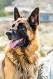 坐户外在一个岩石旁边的机敏的德国牧羊犬狗有模糊的背景 免版税库存图片