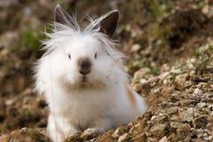 坐户外在狂放的白色安哥拉猫兔子 免版税库存图片