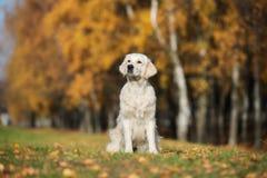 坐户外在秋天的金毛猎犬狗 库存图片