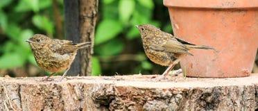 坐日志的两只幼小小知更鸟 库存图片