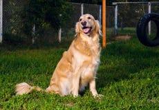 坐本质上的金毛猎犬狗 免版税图库摄影
