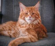 坐椅子和看照相机的红色缅因树狸猫 免版税库存照片