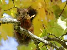 坐槭树的灰鼠 免版税库存图片