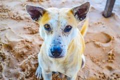 坐海滩菲律宾狗的画象  免版税库存图片