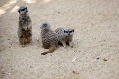 坐狂放的非洲人Meerkats海岛猫鼬类suricatta暴民  免版税库存图片