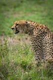 坐猎豹的特写镜头凝视在草原 库存照片