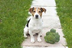 坐用硬花甘蓝的狗 免版税图库摄影