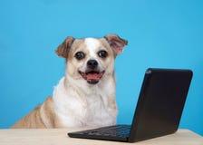 坐由一台微型便携式计算机的愉快的奇瓦瓦狗狗 免版税库存图片