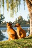 坐由河的两条Boerboel狗 免版税库存照片