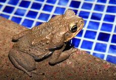 坐由游泳池的藤茎蟾蜍在哥斯达黎加的雨前面 免版税图库摄影