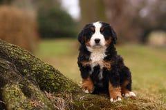 坐由被暴露的青苔的伯尔尼的山狗小狗报道了树根 免版税库存图片