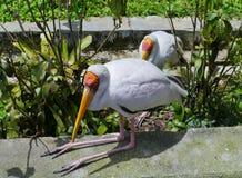 坐的乳状鹳鸟 库存图片