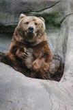坐的北美灰熊 库存照片