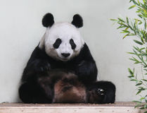 坐的大熊猫看照相机 库存照片