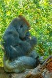 坐的大猩猩本质上刚果 免版税库存图片