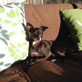 坐的奇瓦瓦狗在阳光下 库存照片