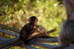 坐的小的猴子有绿色背景 免版税图库摄影
