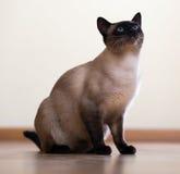 坐的幼小成人暹罗猫 免版税库存照片