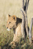 坐的幼小狮子 免版税库存照片