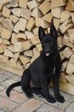 坐的德国牧羊犬小狗画象 图库摄影