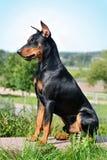 坐的德国短毛猎犬 免版税库存图片