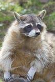 坐的浣熊 免版税图库摄影