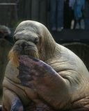 坐的海象 免版税图库摄影