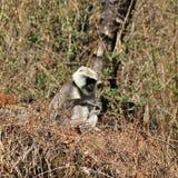 坐的灰色叶猴猴子在Langtang国民拍摄了 免版税库存照片