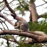 坐的灰鼠结构树 库存图片