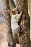 坐的灰鼠结构树 库存照片