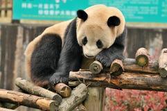 坐的熊猫 库存照片