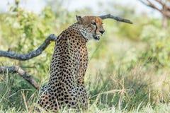 坐的猎豹在克留格尔国家公园,南非 免版税库存照片