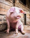 坐的猪 免版税图库摄影