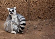 坐的环纹尾的狐猴 免版税库存照片