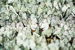 坐的白色和黑镶边蝴蝶行  免版税图库摄影