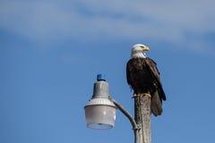 坐的老鹰 免版税库存图片