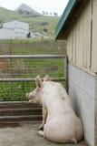 坐的肉猪 免版税库存照片