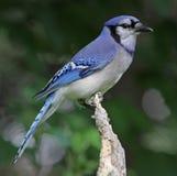 坐的蓝色尖嘴鸟 免版税库存图片