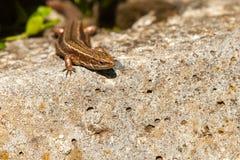 坐的蜥蜴在阳光下 库存照片