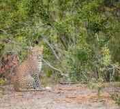 坐的豹子 图库摄影