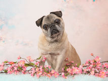 坐的资深哈巴狗尾随面对在桃红色浪漫花背景的照相机 库存图片