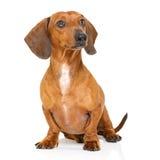 坐的达克斯猎犬或香肠狗 免版税库存照片